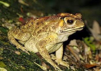 mengenai katak
