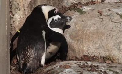 pinguinos homosexuales de toronto canada