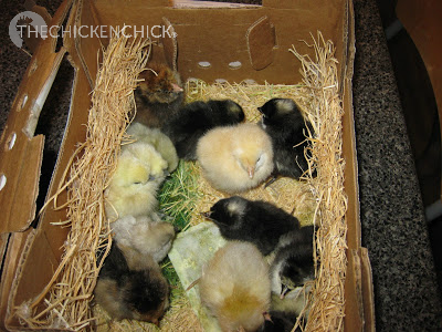 Chicks should be inspected at the post office to verify their condition in the event not all of the chicks arrived safely.