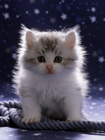 Free Wallpapers White Kitten