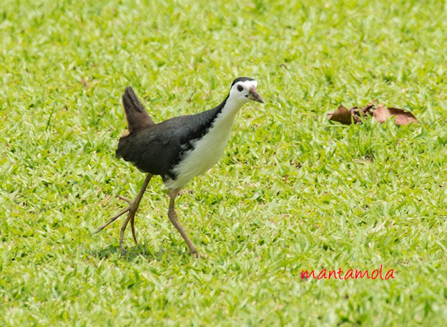 White-Breasted Waterhen(Amaurornis phoenicurus)