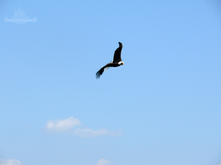 Greifvogel in der Luft Riegersburg