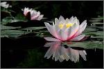 Nülifer çiçeği