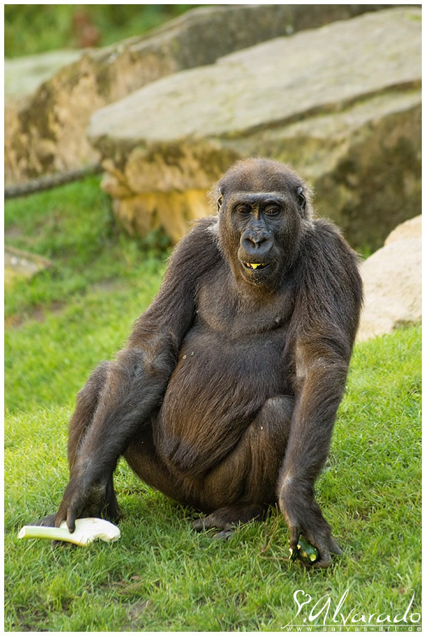 dissertation schimpansen gorilla hannover Dissertation schimpansen gorilla hannover dissertation wzl rwth aachen will explore the journals after that you can be critiqued with a writing test how to locate.