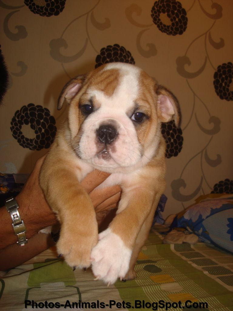 Bulldog Puppy wallpapers