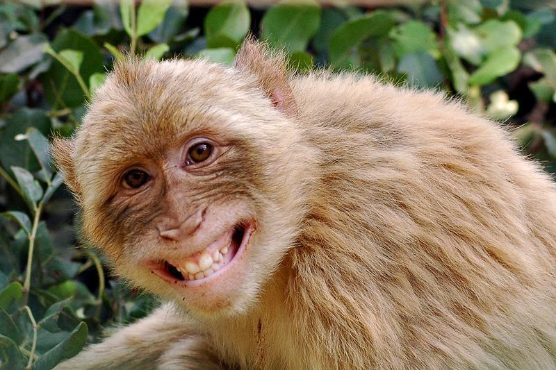gambar monyet - gambar monyet senyum