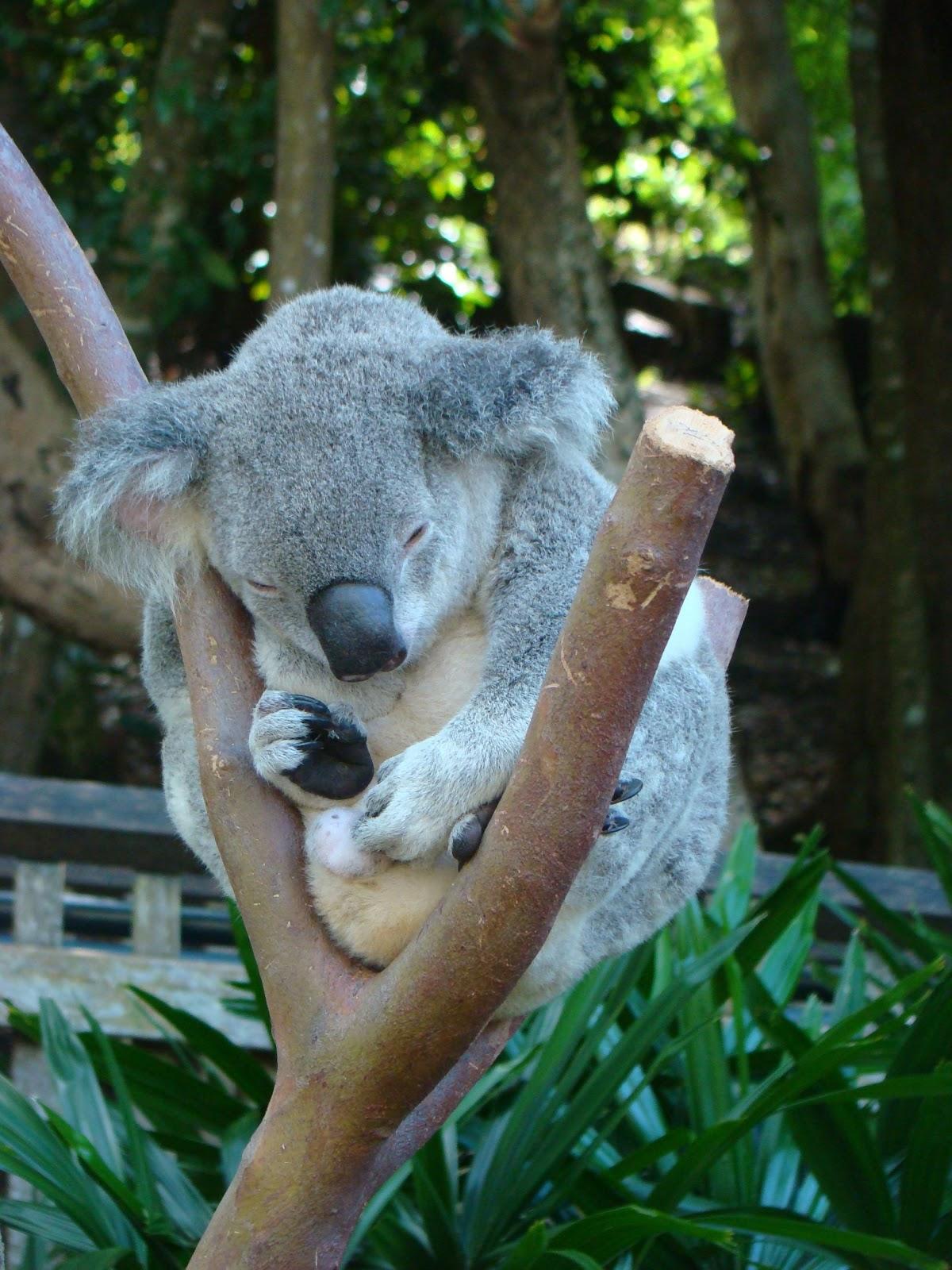 Cute Koalas In Trees
