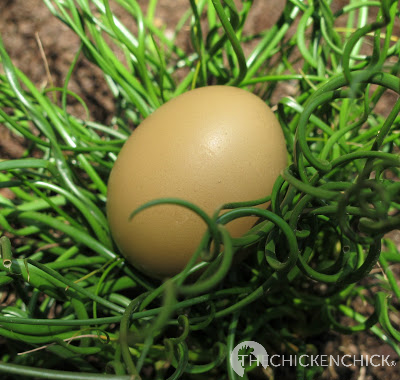 Green eggshells are a combination of blue and brown pigment being applied to the eggshell in the shell gland. The blue is added first and penetrates the entire egg while the brown pigment is laid on the surface of the eggshell.