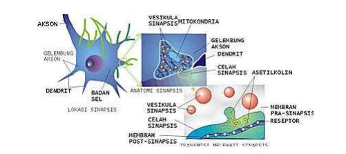 Lokasi, anatomi, dan cara kerja sinapsis