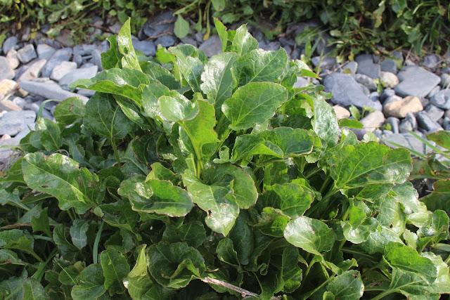 The foraged vegetable - sea beet