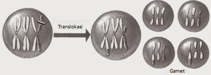 Gamet yang dihasilkan sel akibat translokasi selama meiosis