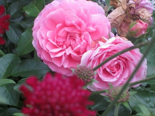 Rosenpflege im Sommer