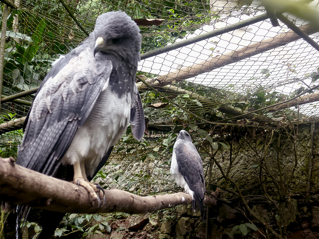 Aguilas grises