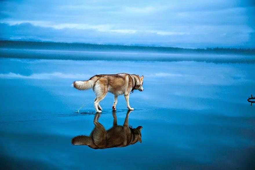 Image Result For Siberian Husky For