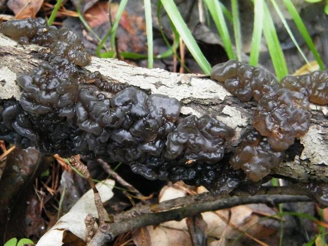 Exidia glandulosa