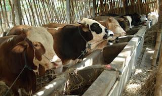 cara meningkatkan bobot ternak dengan vitamin ternak organik nasa