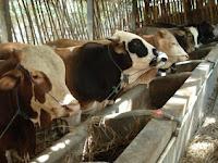 Teknis Beternak Sapi Potong dengan Vitamin Ternak Organik Nasa