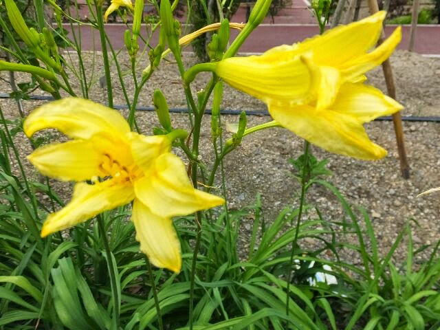 ユリ科のユウスゲの花。