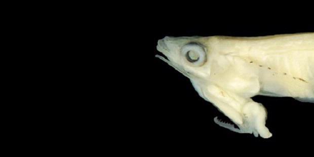 Ikan Phallostethus cuulong