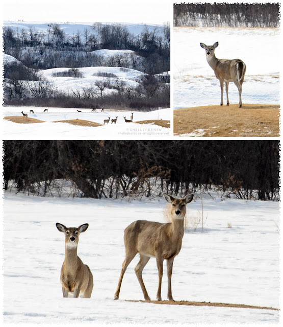 The deer watch me as, elbows and lens propped on a distant snowbank, I take a telephoto shot. photos © Shelley Banks, all rights reserved.