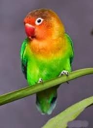 cennet papağanı