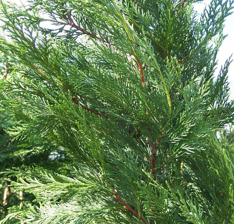 How to Plant Leyland Cypress