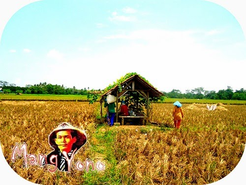 Panen padi telah tiba,tradisi Derep