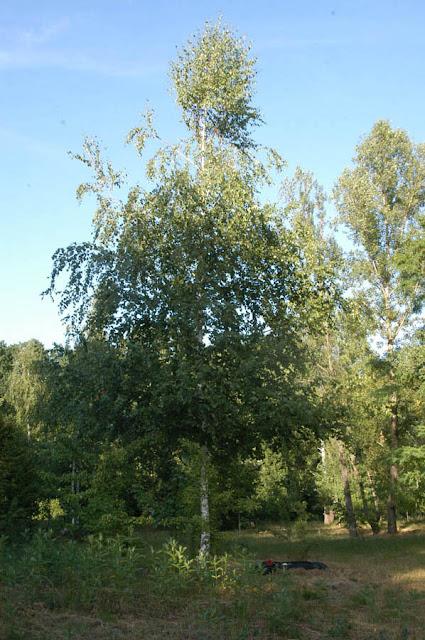 береза, Сырецкий парк