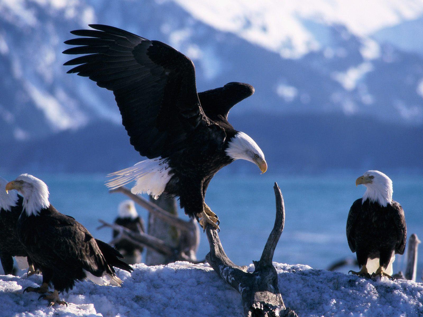 Must see   Wallpaper Horse Eagle - Eagle+Hawk+wallpapers+1  Photograph_18522.jpg