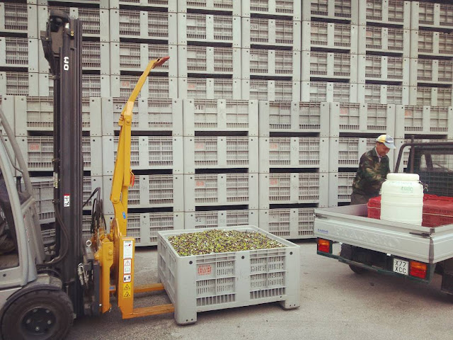 Olives being unloaded from an Ape car at the Frantoio (olive press)