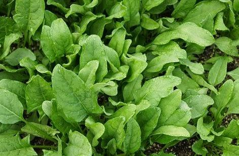 Cara Menanam Sayuran Bayam Dari Benih