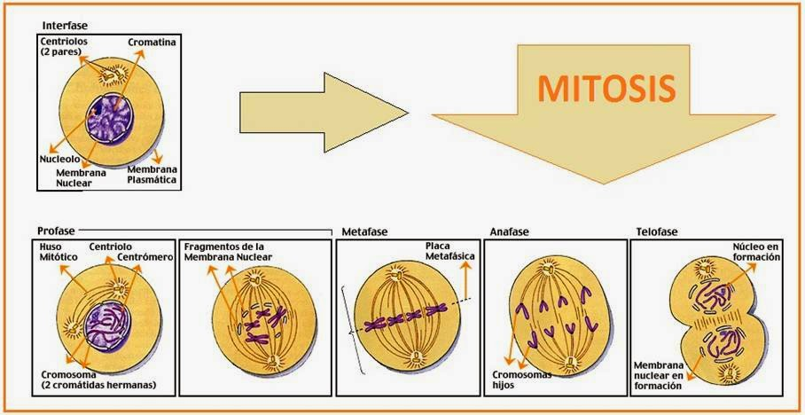 4 stages of mitosis labeled