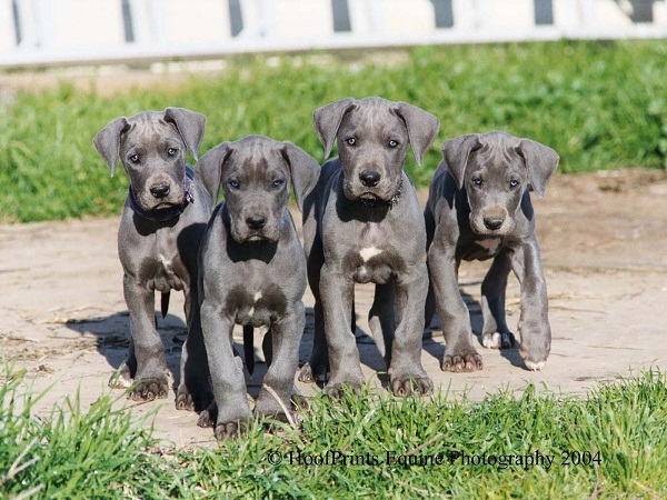 Great Dane Puppies Pictures About One Week Old