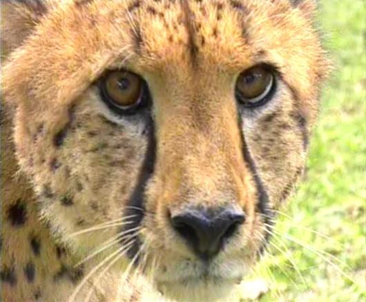 Beautiful african animals safaris endangered beautiful african endangered beautiful african safari animals voltagebd Image collections