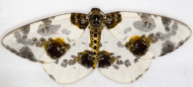 Clouded Magpie, Calospilos sylvata.  Cuckoo Wood, High Elms, 9 July 2015.