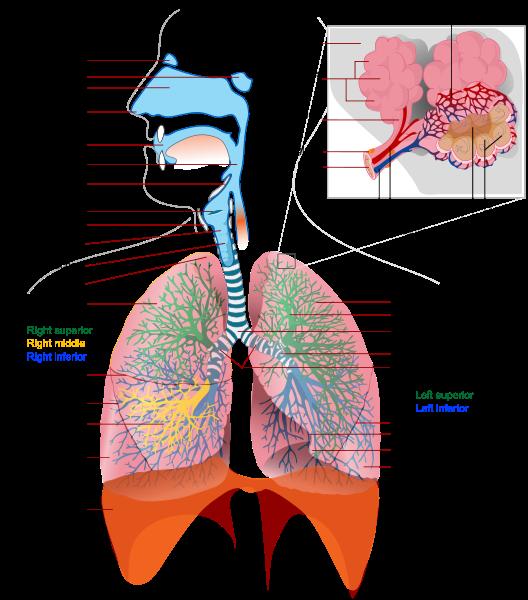 Respiratory_system_complete_en_svg respiration gorillas