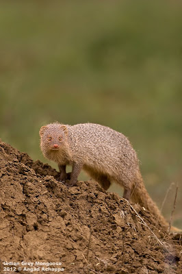 Indian Grey Mongoose wildlife photography india bangalore wildlife photographer
