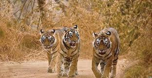 Tigers in kanha