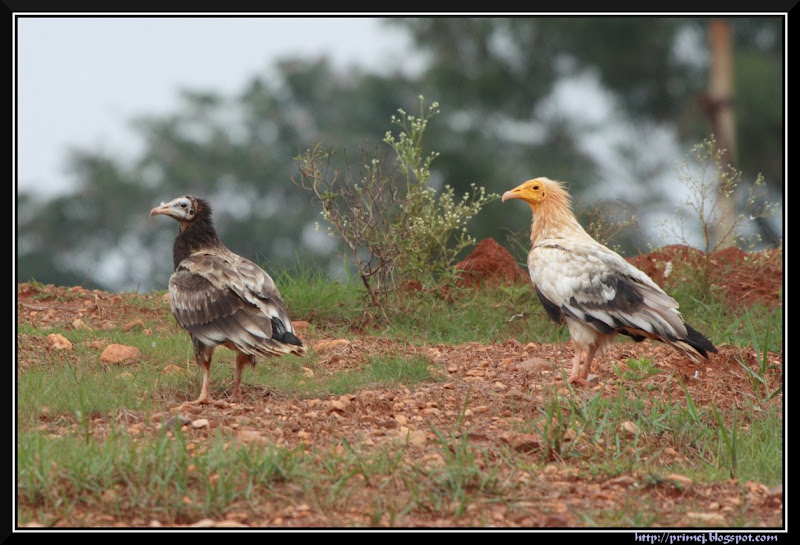 Juvenile and Adult Egyptian Vultures