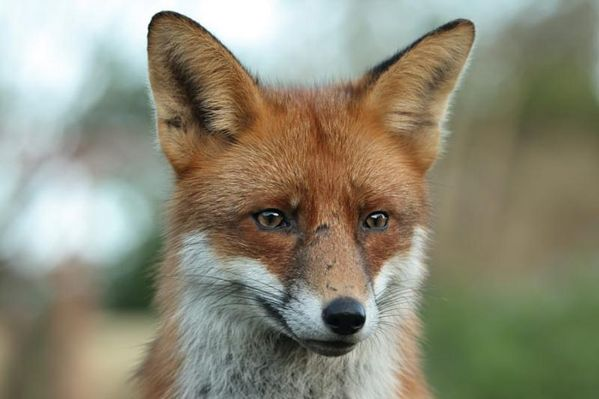 red fox face and - photo #32