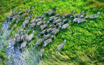 Estampida de cebras en el campo - OSX Mountain Lion