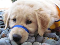 Stinson, CCI Puppy