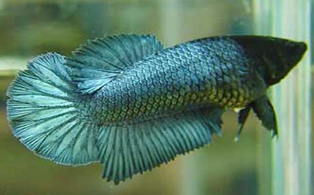Ikan Cupang Crowntail plakat Betina