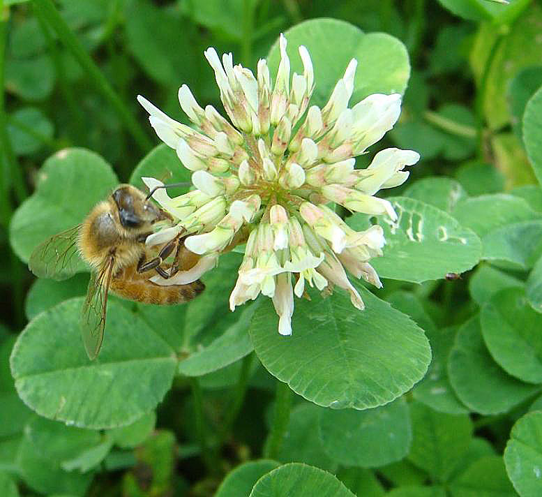 White Clover and Honeybee