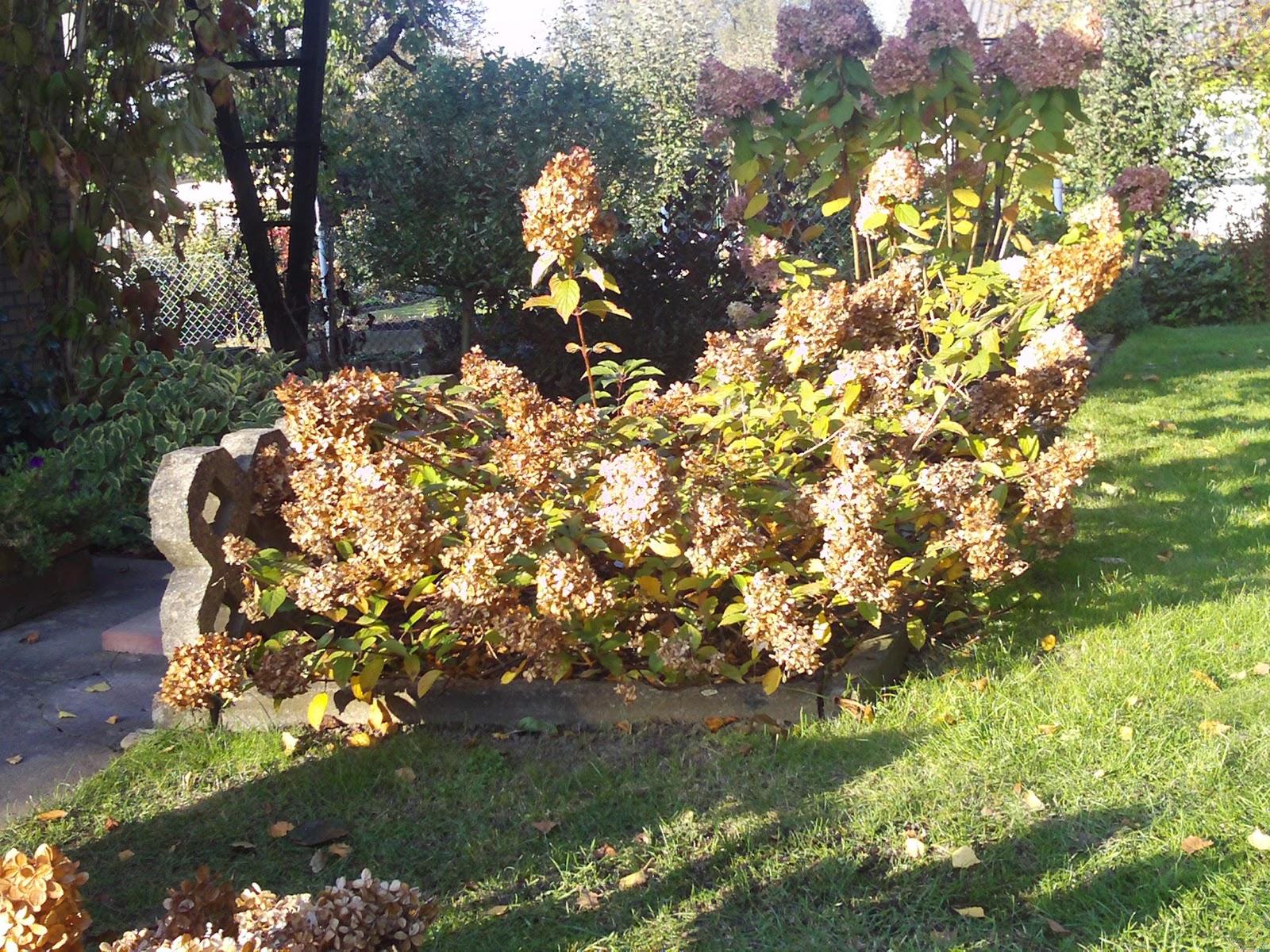 ab in den winter hortensie vanille fraise im oktober. Black Bedroom Furniture Sets. Home Design Ideas