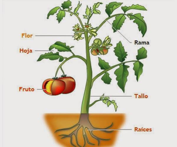 partes de las plantas las plantas partes y funciones