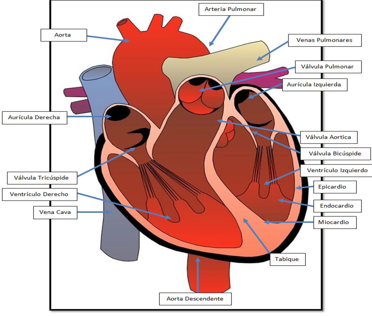 Biofísica del sistema circulatorio