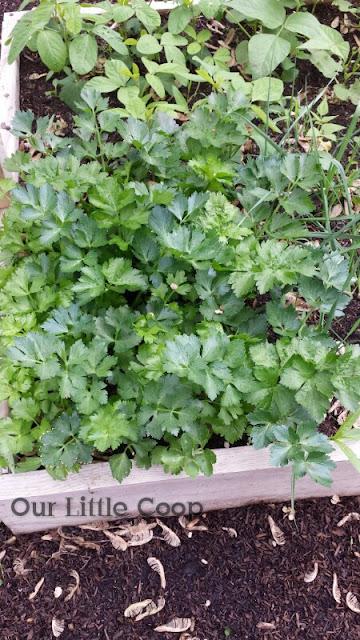 celery raised garden box