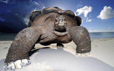 Tortuga gigante en las playas del mar - Huge beach turtle