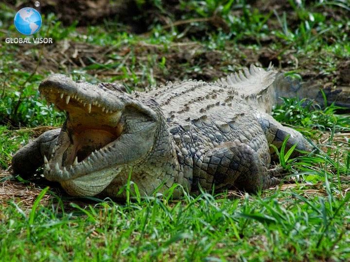 El cocodrilo Biología